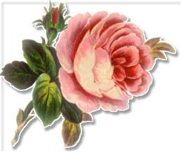 large_soft_pink_rose